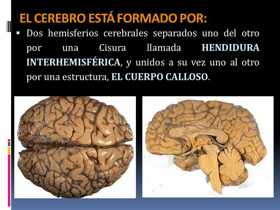 EL CEREBRO ESTÁ FORMADO POR: Dos hemisferios cerebrales separados uno del otro por una Cisura llamada HENDIDURA INTERHEMISFÉRICA, y unidos a su vez un