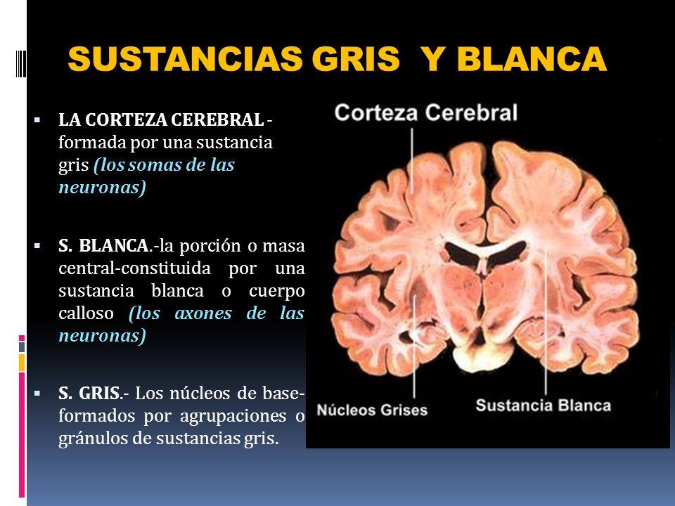 SUSTANCIAS GRIS Y BLANCA LA CORTEZA CEREBRAL - formada por una sustancia gris (los somas de las neuronas) S. BLANCA.-la porción o masa central-constit