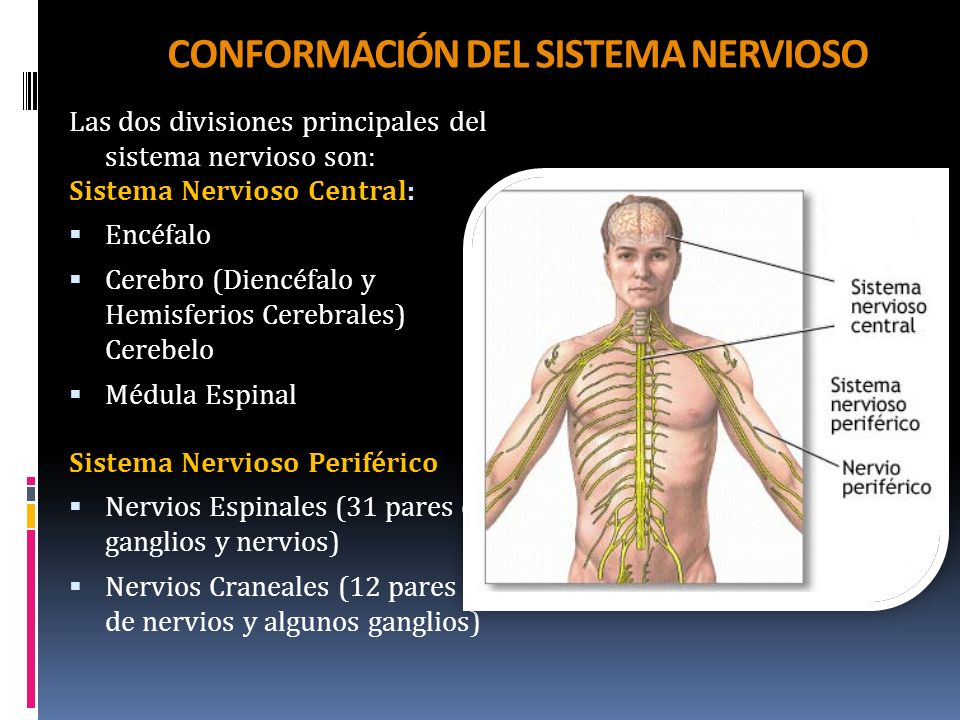 CONFORMACIÓN DEL SISTEMA NERVIOSO Las dos divisiones principales del sistema nervioso son: Sistema Nervioso Central: Encéfalo Cerebro (Diencéfalo y He