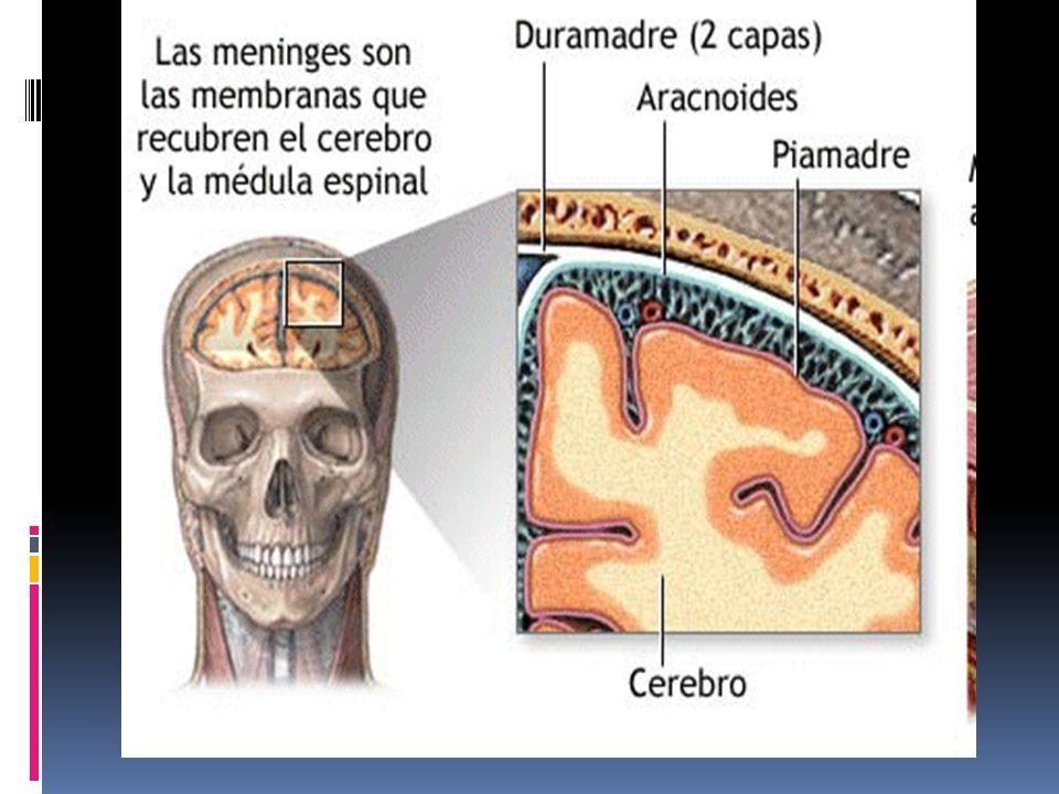 MENINGUES PROLONGACIONES DE DURAMANDRE La duramadre presenta tres prolongaciones que penetran el tejido nervioso: La hoz del cerebro La hoz del cerebelo La tienda del cerebelo