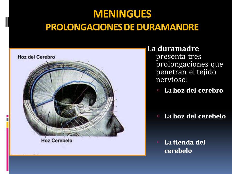 MENINGUES PROLONGACIONES DE DURAMANDRE La duramadre presenta tres prolongaciones que penetran el tejido nervioso: La hoz del cerebro La hoz del cerebe