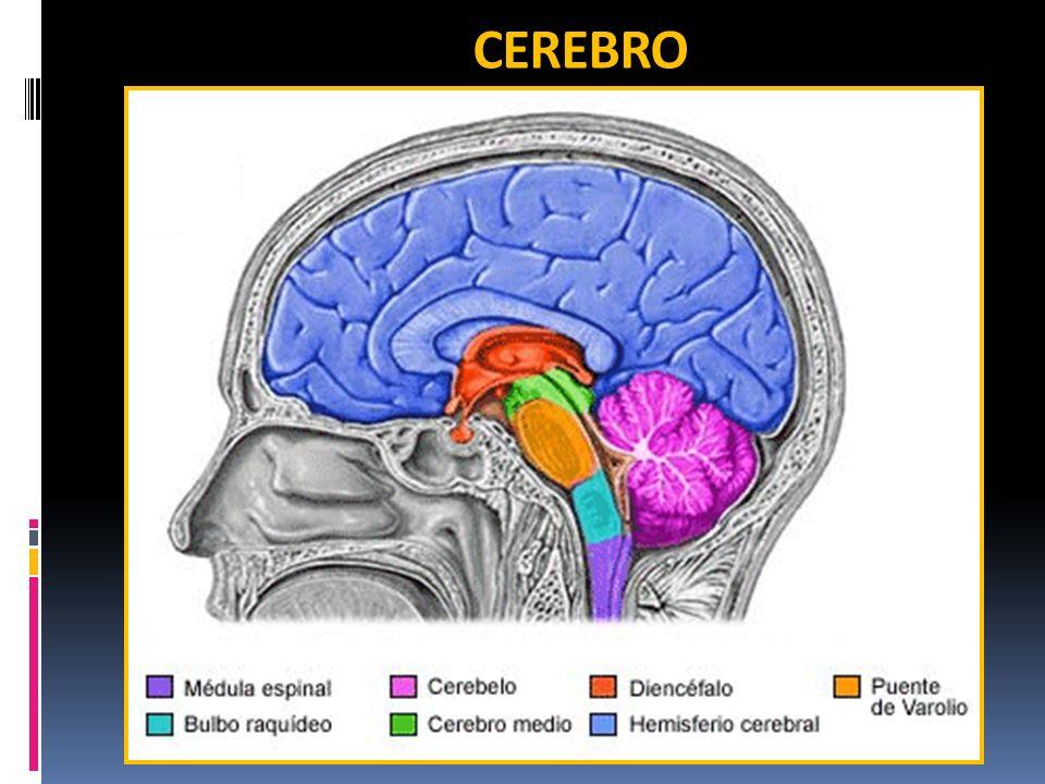 CEREBRO - HEMISFERIOS Tiene 2 hemisferios: H.
