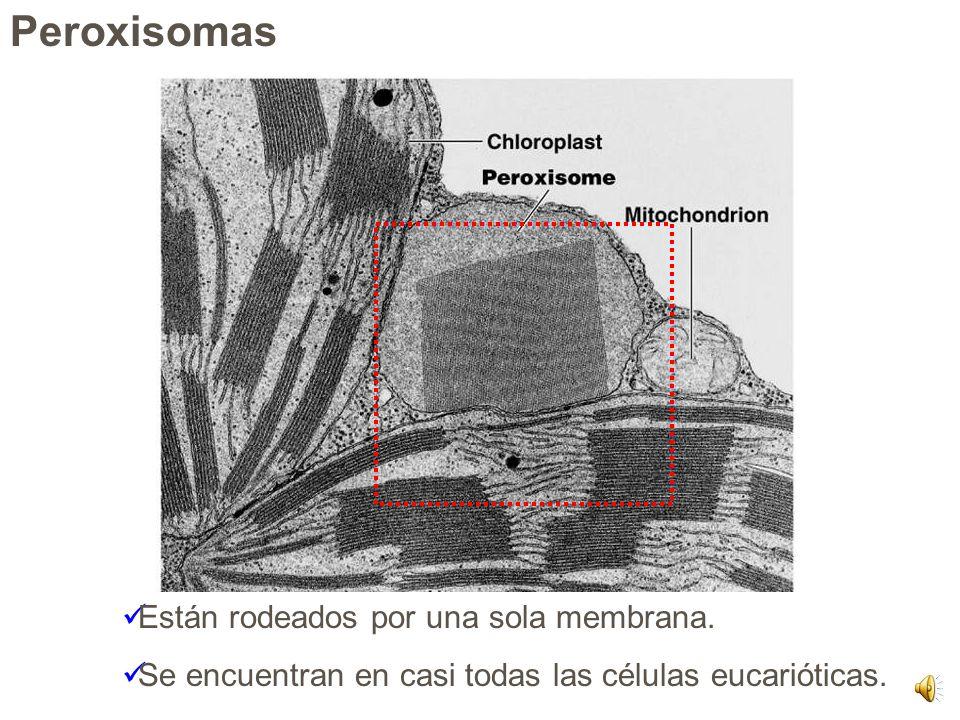 Cloroplastos – forman parte de los plastidios. Amiloplastos Cromoplastos
