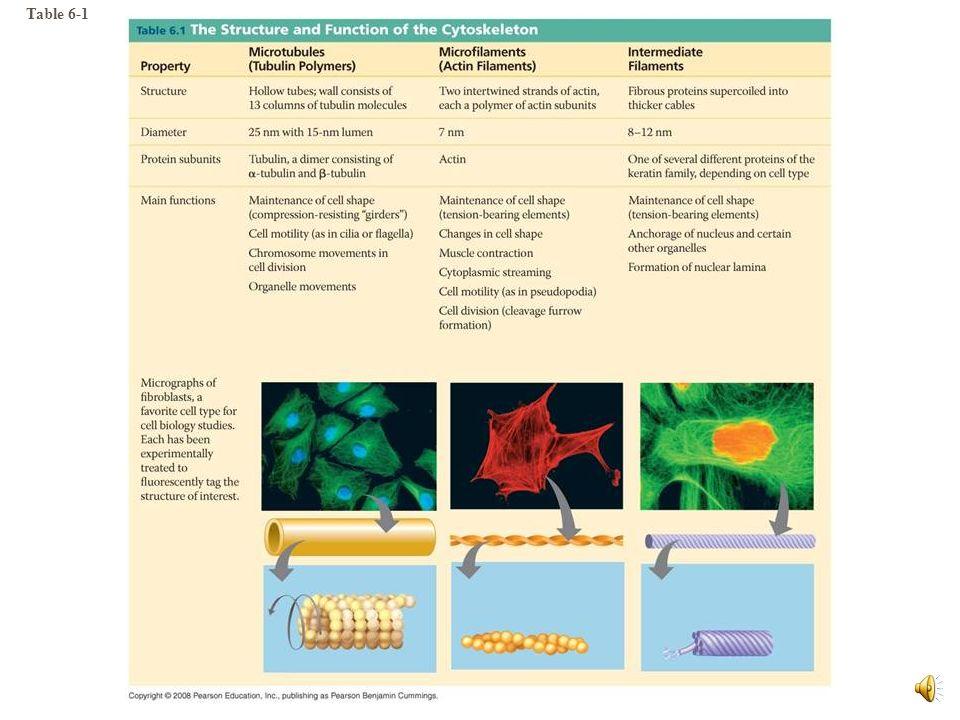 El citoesqueleto está compuesto de, por lo menos, tres tipos de fibras: Microtúbulos Microfilamentos Filamentos Intermedios