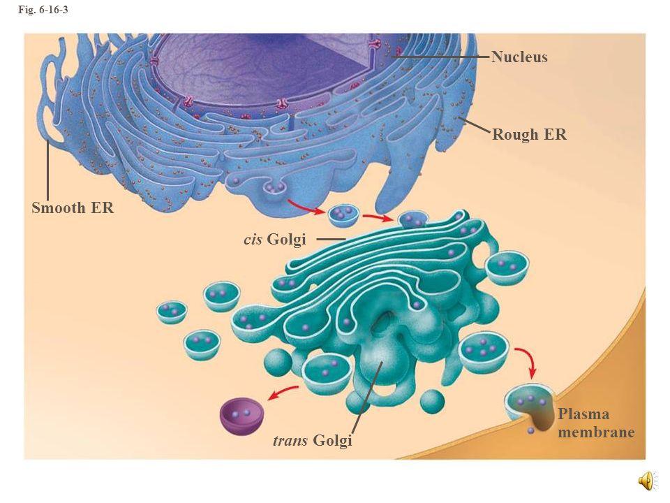 Sistema de endomembranas Relación puede ser directa mediante continuidad física entre una membrana y otra indirecta mediante vesículas que salen de un