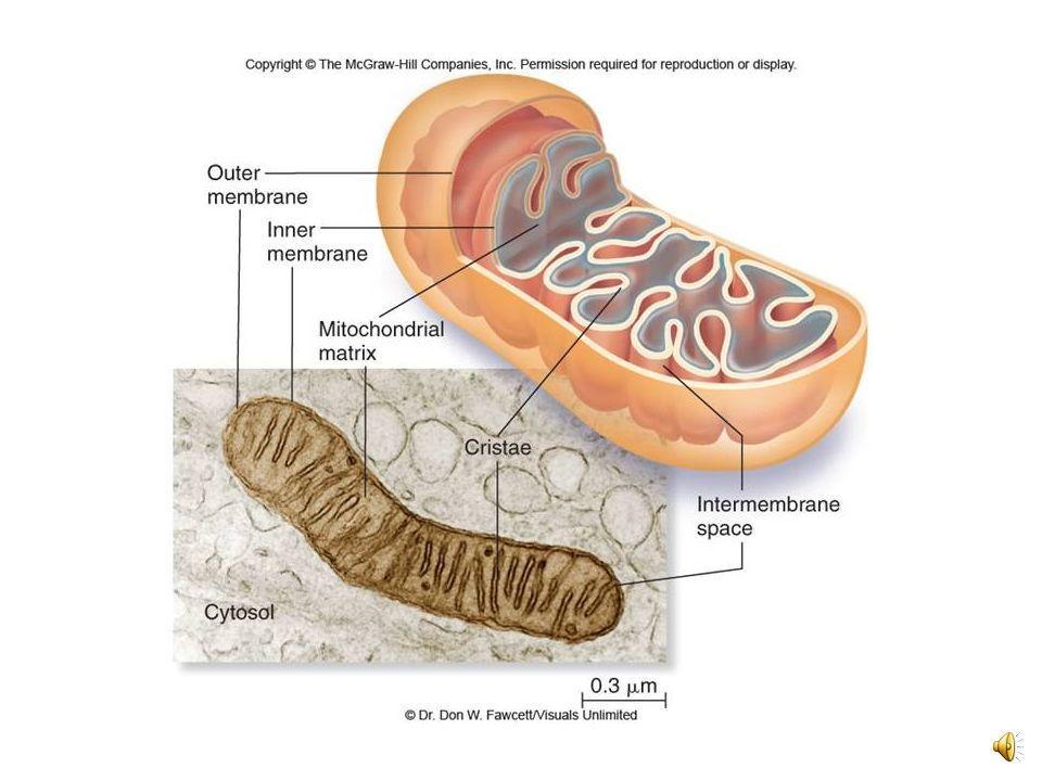 COMPONENTE CÉLULAS ESTRUCTURAFUNCIÓN Aparato de Golgi Eucariotas Sistema de sacos aplanados.
