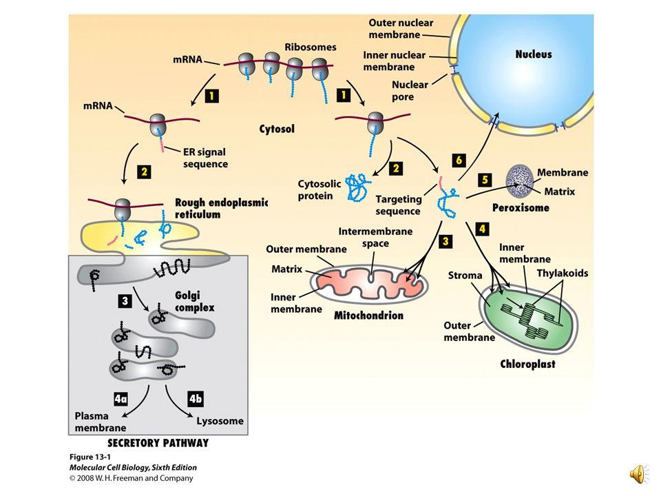 Retículo endoplásmico rugoso (RER) Funciones: Síntesis de proteínas Síntesis de membranas Smooth ER Rough ER ER lumen Cisternae Ribosomes Transport ve