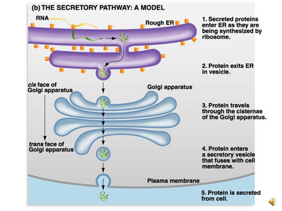 Organelos membranosos COMPONENTE CÉLULAS ESTRUCTURAFUNCIÓN Retículo endoplasmático rugoso Eucariotas Red de compartimientos que se comunican formando