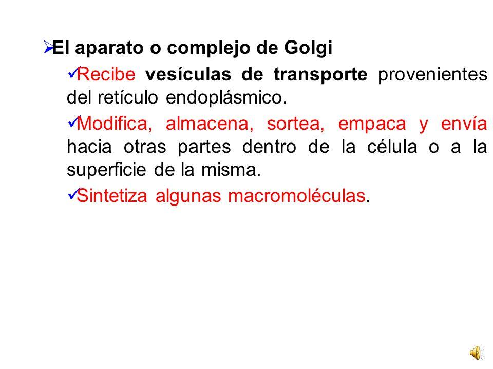 El aparato o complejo de Golgi Recibe vesículas de transporte provenientes del retículo endoplásmico.