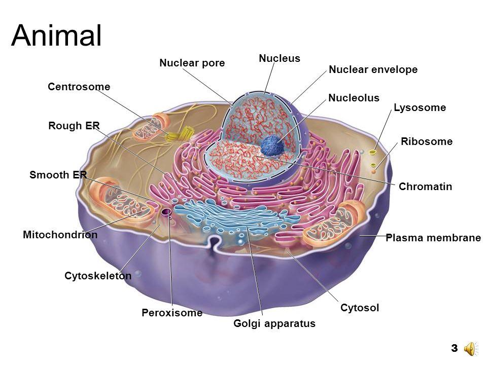 Protistas, hongos, plantas y animales. Núcleo y organelos membranosos. Celulas Eucarióticas [eu= verdadero; karyon = grano (núcleo)]