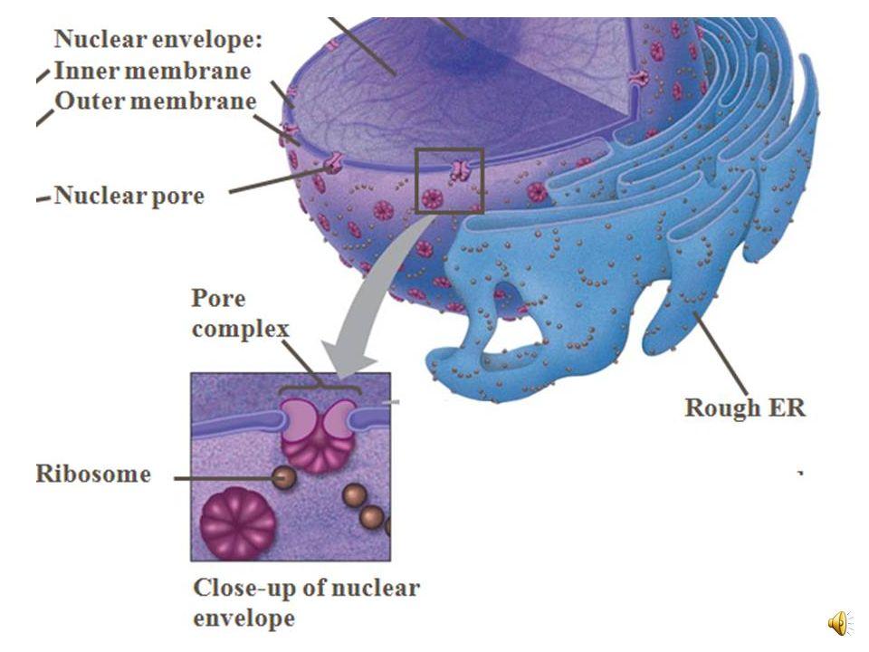 Fig. 6-10 Nucleolus Nucleus Rough ER Nuclear lamina (TEM) Close-up of nuclear envelope 1 µm 0.25 µm Ribosome Pore complex Nuclear pore Outer membrane