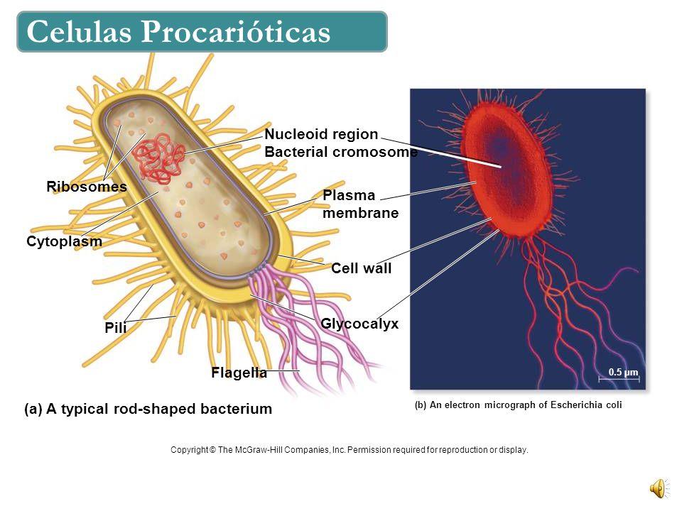 Figure 7.4x2 E. coli NO tienen núcleo. Su material genético se encuentra en una región nucleoide. NO tiene organelos membranosos.