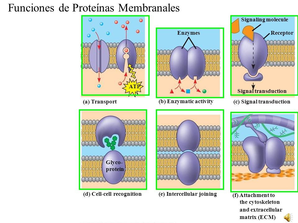 Funciones de Proteínas Membranales (a) Transport ATP (b) Enzymatic activity Enzymes (c) Signal transduction Signal transduction Signaling molecule Receptor (d) Cell-cell recognition Glyco- protein (e) Intercellular joining (f) Attachment to the cytoskeleton and extracellular matrix (ECM)