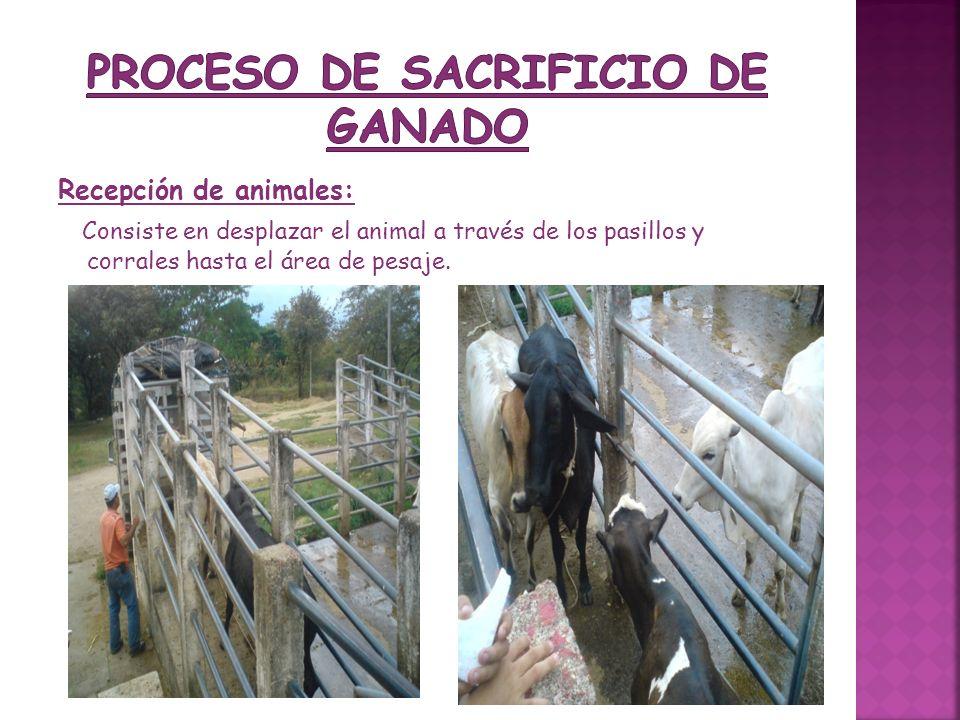 Recepción de animales: Consiste en desplazar el animal a través de los pasillos y corrales hasta el área de pesaje.