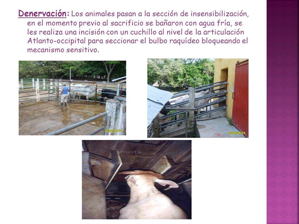 Denervación: Los animales pasan a la sección de insensibilización, en el momento previo al sacrificio se bañaron con agua fría, se les realiza una inc