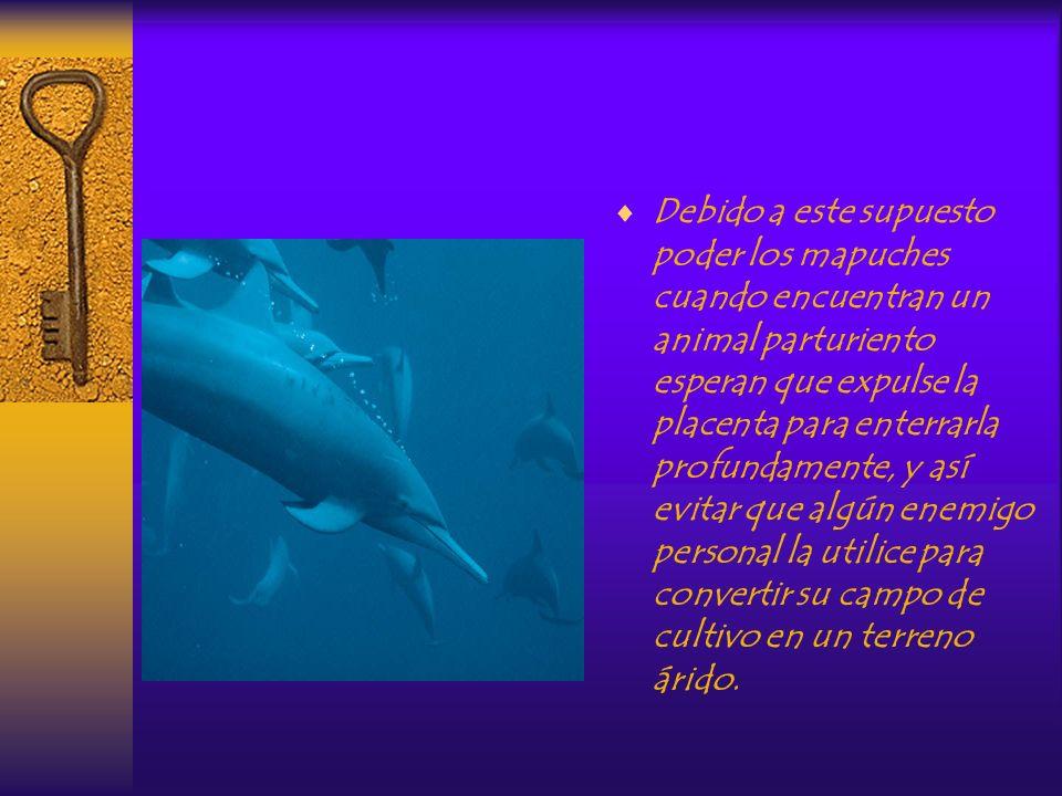 Cudiñ Para los mapuches la placenta -cudiñ- poseía poderes mágicos negativos. Por ejemplo dicen que arrojada en un campo de cultivo lo tornará estéril