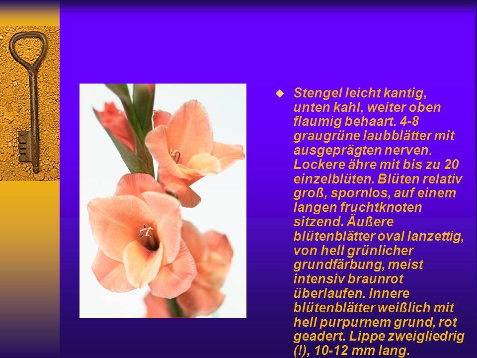 Arbeitskreise Heimische Orchideen Orchidee des Jahres 1998: Epipactis palustris (L.) Crantz. Echte Sumpfwurz (Weiße Sumpfwurz, Sumpf-Sitter, Sumpf-Ste