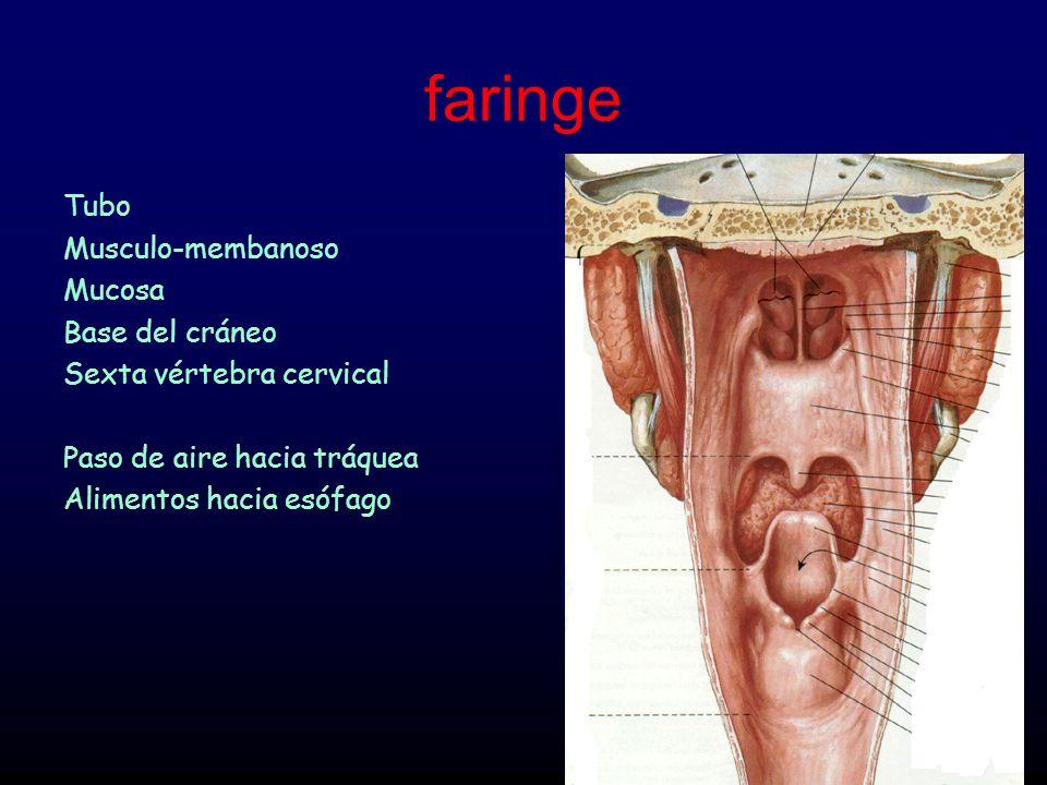 faringe Tubo Musculo-membanoso Mucosa Base del cráneo Sexta vértebra cervical Paso de aire hacia tráquea Alimentos hacia esófago