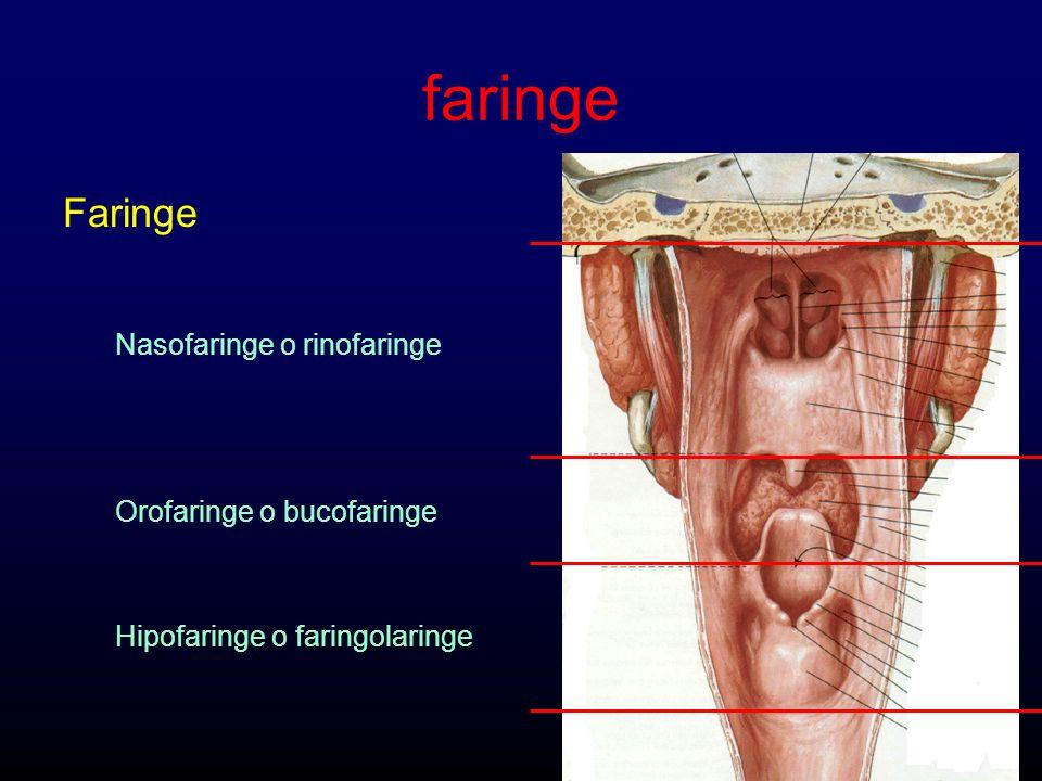 faringe Faringe Nasofaringe o rinofaringe Orofaringe o bucofaringe Hipofaringe o faringolaringe