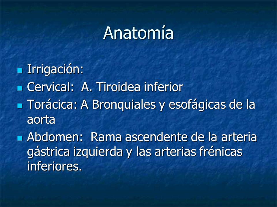 Anatomía Irrigación: Irrigación: Cervical: A. Tiroidea inferior Cervical: A. Tiroidea inferior Torácica: A Bronquiales y esofágicas de la aorta Toráci