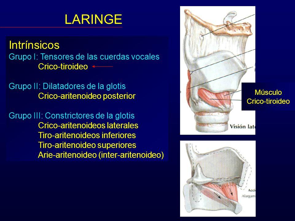 Intrínsicos Grupo I: Tensores de las cuerdas vocales Crico-tiroideo Grupo II: Dilatadores de la glotis Crico-aritenoideo posterior Grupo III: Constric