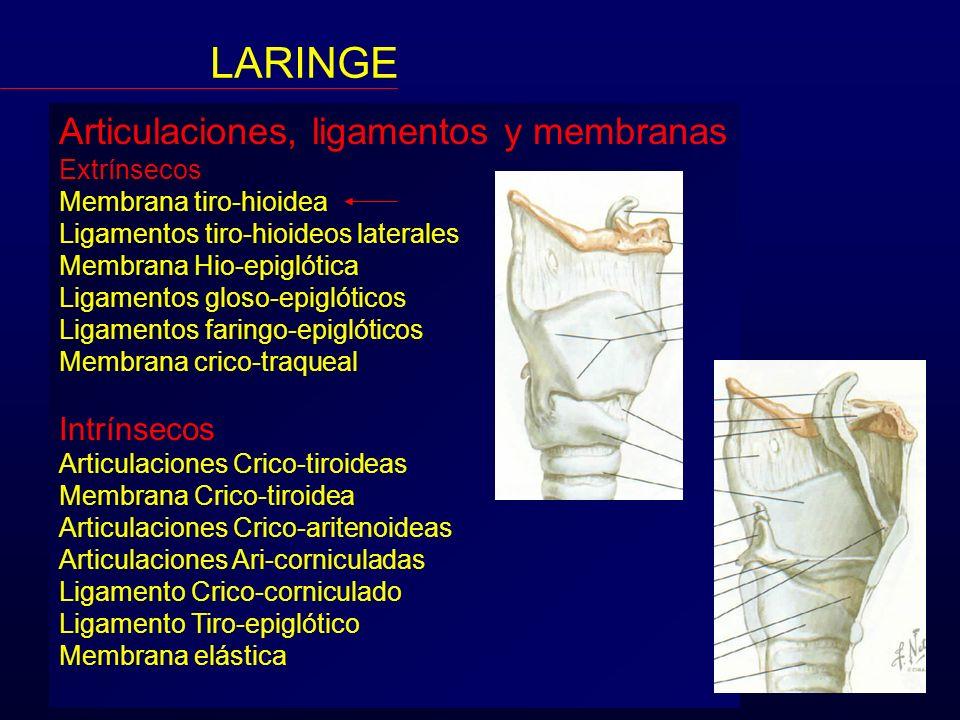 Articulaciones, ligamentos y membranas Extrínsecos Membrana tiro-hioidea Ligamentos tiro-hioideos laterales Membrana Hio-epiglótica Ligamentos gloso-e