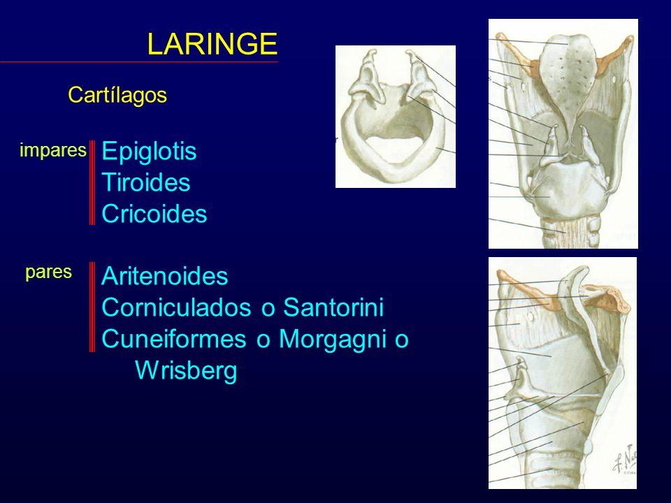 LARINGE Cartílagos Epiglotis Tiroides Cricoides Aritenoides Corniculados o Santorini Cuneiformes o Morgagni o Wrisberg impares pares