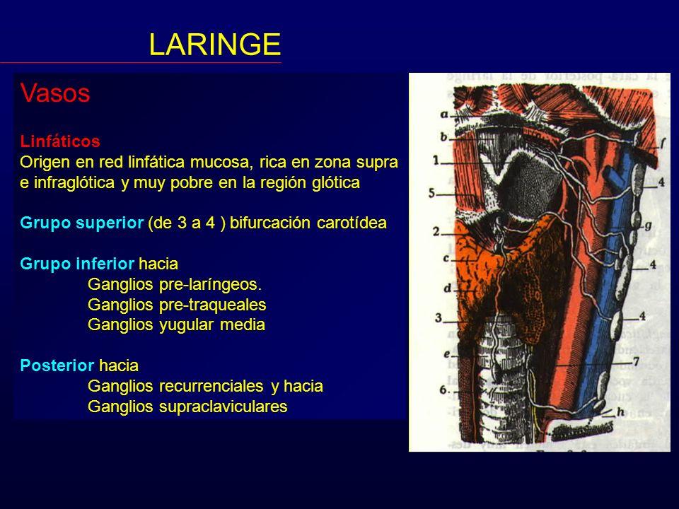 Vasos Linfáticos Origen en red linfática mucosa, rica en zona supra e infraglótica y muy pobre en la región glótica Grupo superior (de 3 a 4 ) bifurca