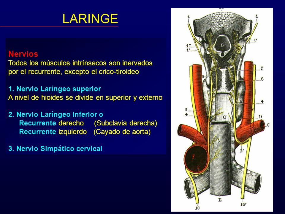 Nervios Todos los músculos intrínsecos son inervados por el recurrente, excepto el crico-tiroideo 1. Nervio Laríngeo superior A nivel de hioides se di