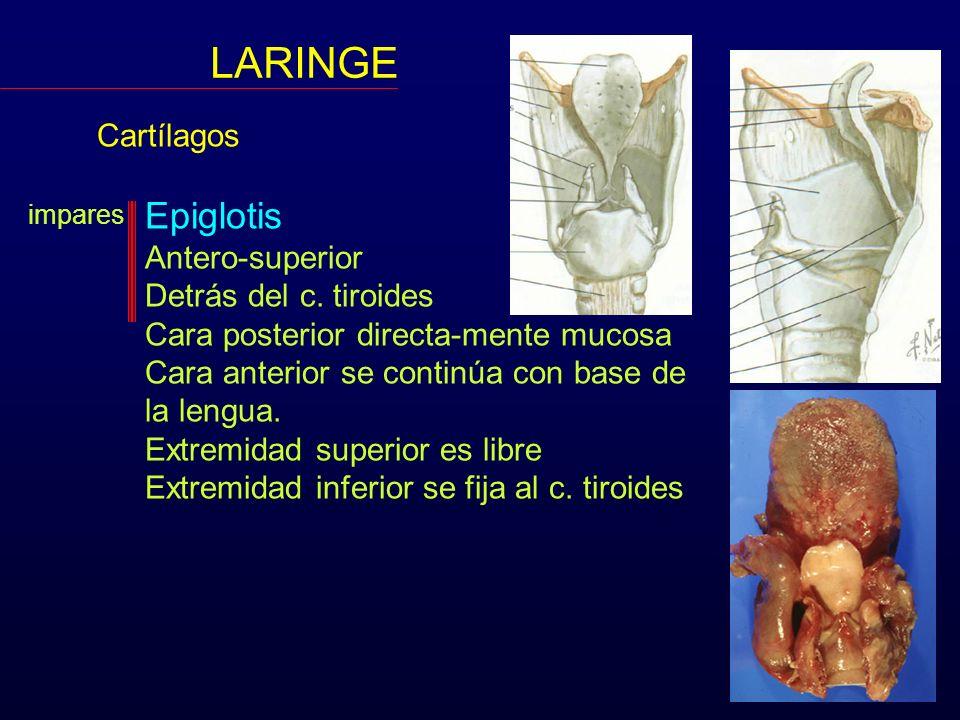 LARINGE Cartílagos Epiglotis Antero-superior Detrás del c. tiroides Cara posterior directa-mente mucosa Cara anterior se continúa con base de la lengu