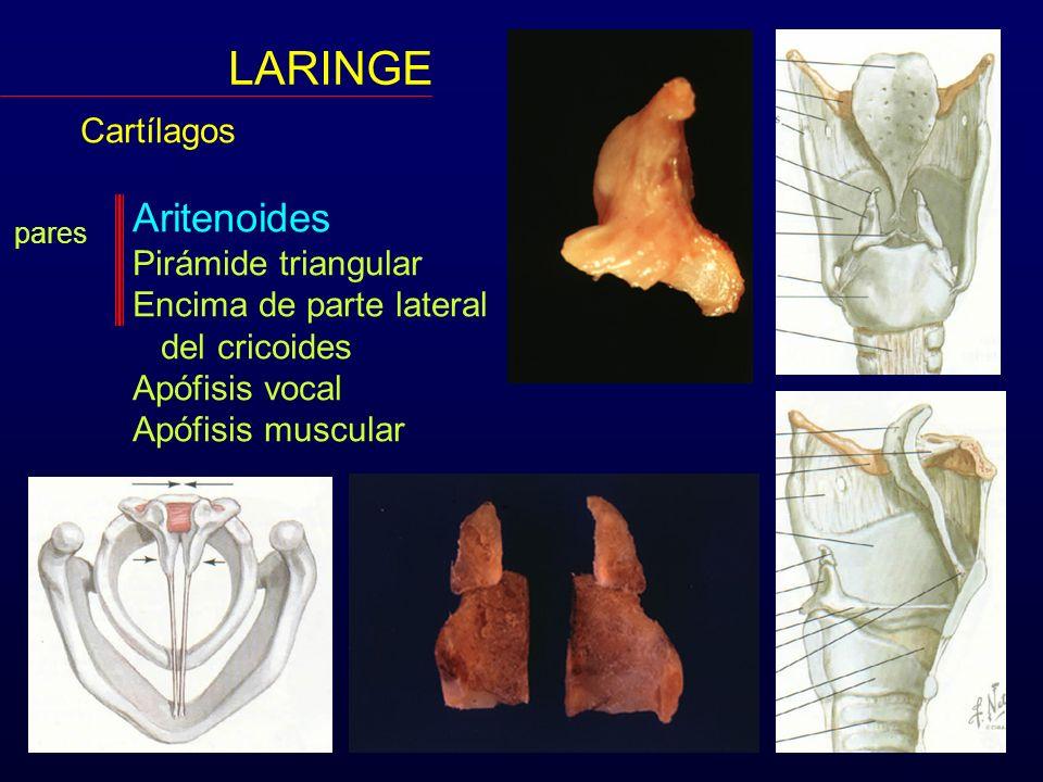 LARINGE Cartílagos Aritenoides Pirámide triangular Encima de parte lateral del cricoides Apófisis vocal Apófisis muscular pares Corniculados o de Santorini Cuneiformes o de Morgagni o Wrisberg