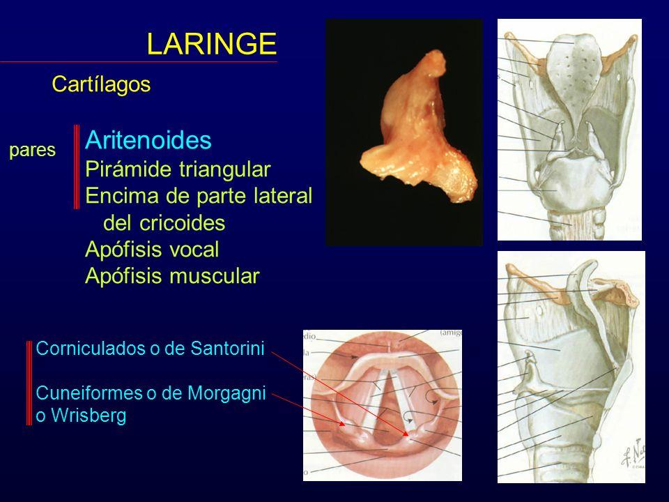 LARINGE Cartílagos Aritenoides Pirámide triangular Encima de parte lateral del cricoides Apófisis vocal Apófisis muscular pares Corniculados o de Sant