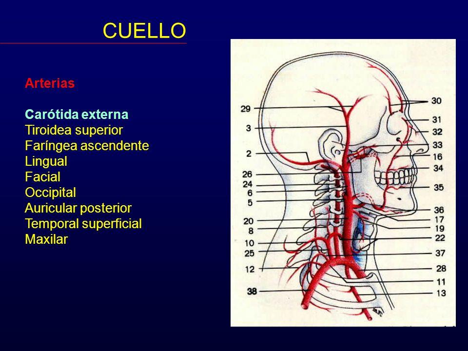 Arterias Carótida externa Tiroidea superior Faríngea ascendente Lingual Facial Occipital Auricular posterior Temporal superficial Maxilar CUELLO