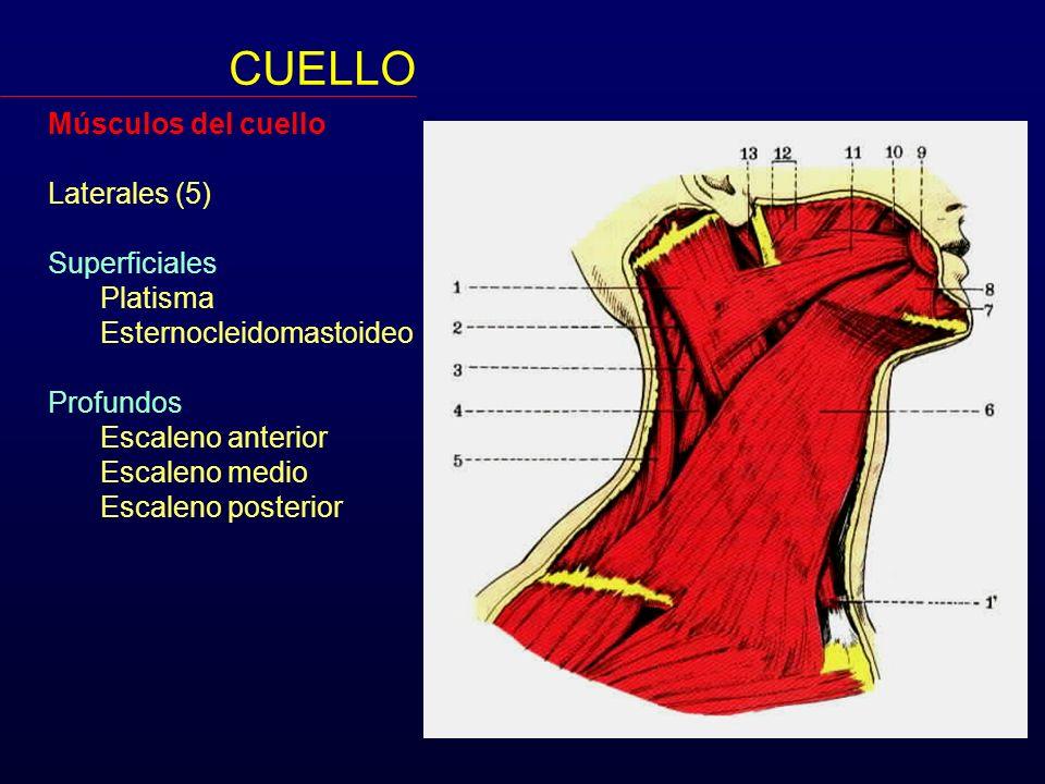 Músculos del cuello Laterales (5) Superficiales Platisma Esternocleidomastoideo Profundos Escaleno anterior Escaleno medio Escaleno posterior CUELLO