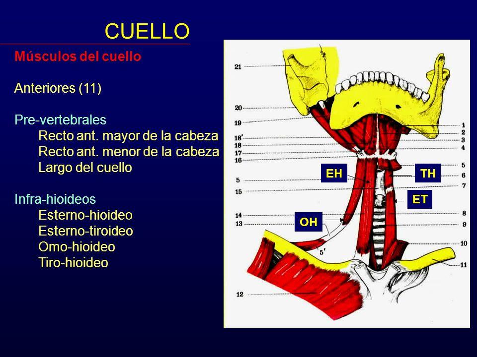 Músculos del cuello Anteriores (11) Pre-vertebrales Recto ant. mayor de la cabeza Recto ant. menor de la cabeza Largo del cuello Infra-hioideos Estern