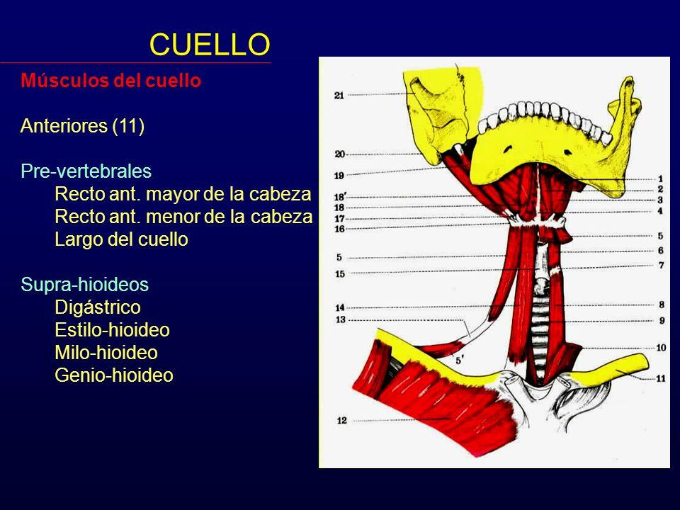 Músculos del cuello Anteriores (11) Pre-vertebrales Recto ant. mayor de la cabeza Recto ant. menor de la cabeza Largo del cuello Supra-hioideos Digást