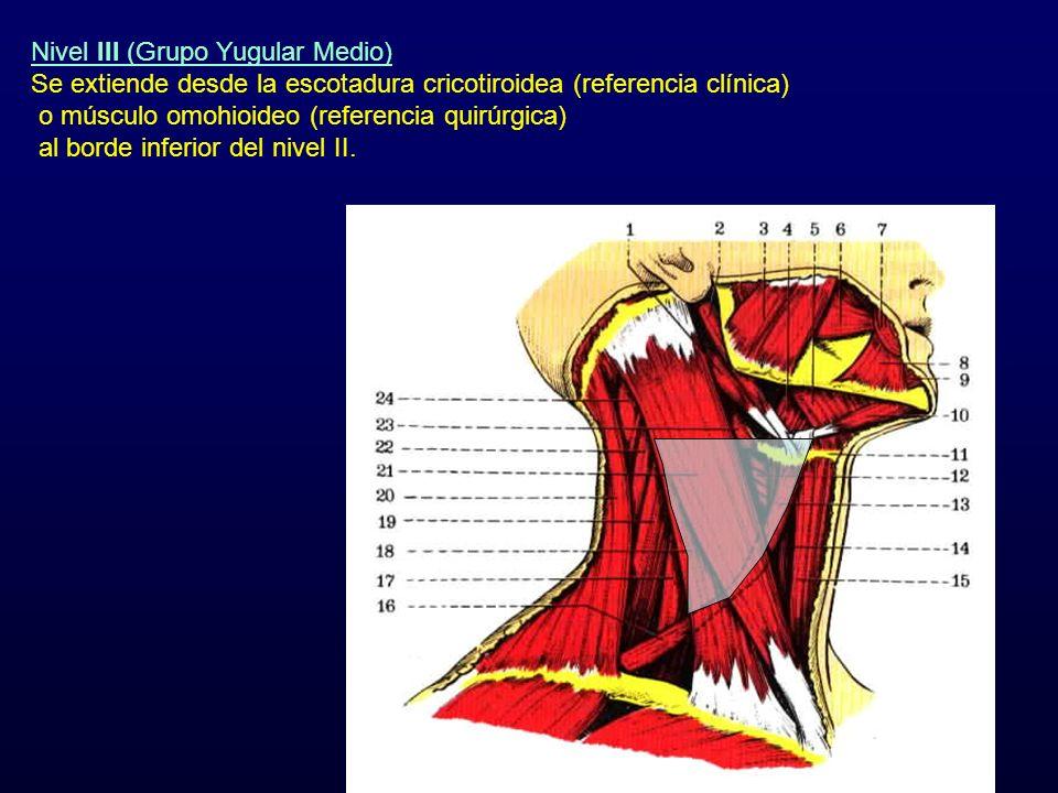 Nivel III (Grupo Yugular Medio) Se extiende desde la escotadura cricotiroidea (referencia clínica) o músculo omohioideo (referencia quirúrgica) al bor