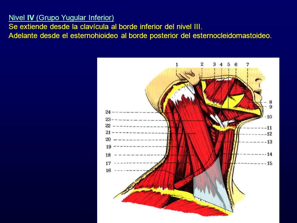 Nivel IV (Grupo Yugular Inferior) Se extiende desde la clavícula al borde inferior del nivel III. Adelante desde el esternohioideo al borde posterior
