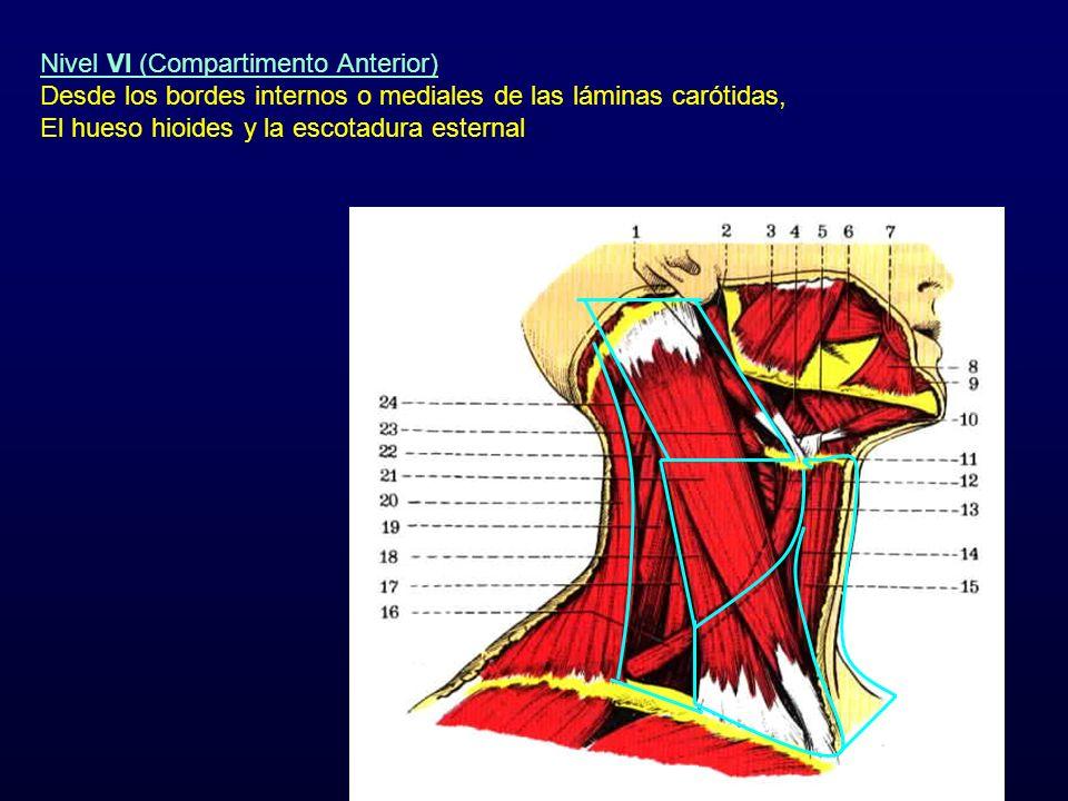 Nivel VI (Compartimento Anterior) Desde los bordes internos o mediales de las láminas carótidas, El hueso hioides y la escotadura esternal