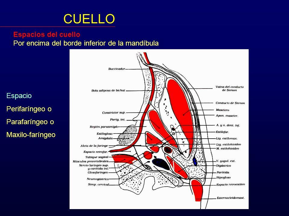 Nivel IV (Grupo Yugular Inferior) Se extiende desde la clavícula al borde inferior del nivel III.
