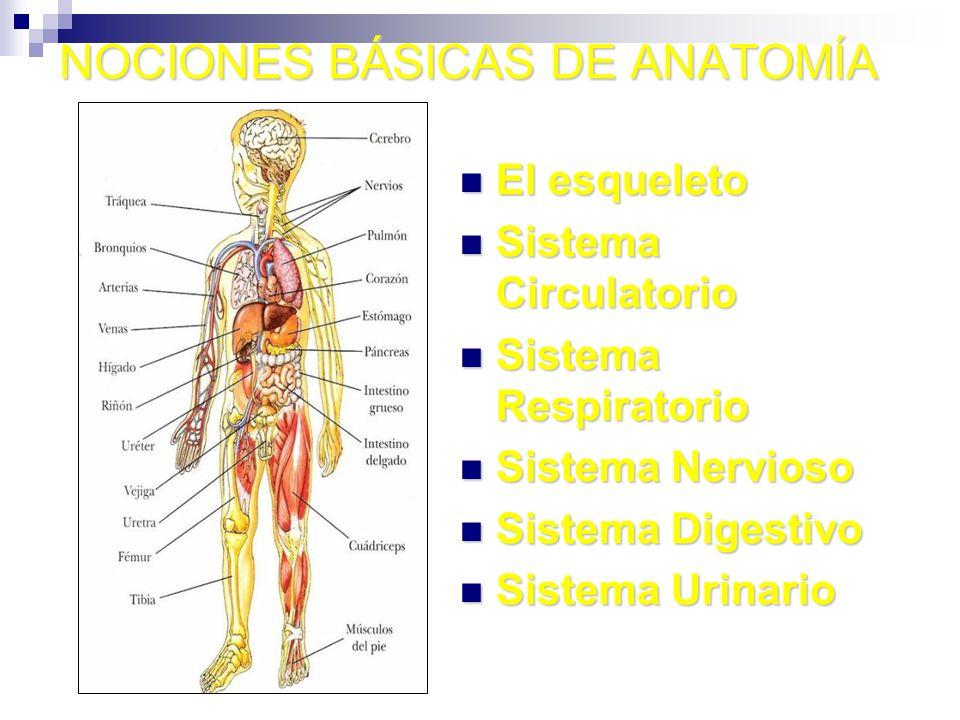 NOCIONES BÁSICAS DE ANATOMÍA El esqueleto El esqueleto Sistema Circulatorio Sistema Circulatorio Sistema Respiratorio Sistema Respiratorio Sistema Ner