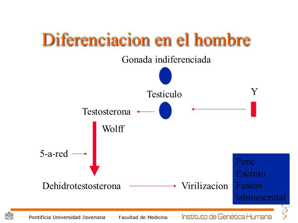 ® Diferenciacion en el hombre Gonada indiferenciada Y Testiculo Wolff Testosterona DehidrotestosteronaVirilizacion Pene Escroto Fusion labioescrotal 5