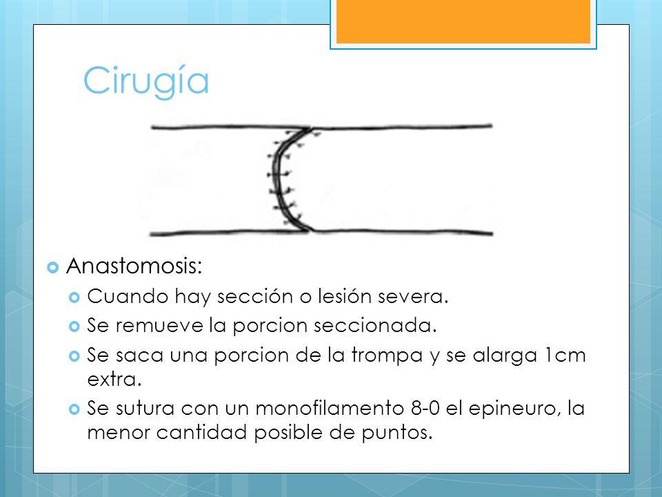 Cirugía Anastomosis: Cuando hay sección o lesión severa. Se remueve la porcion seccionada. Se saca una porcion de la trompa y se alarga 1cm extra. Se