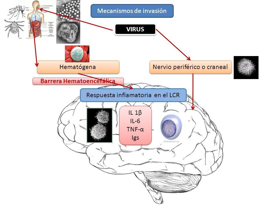 Mecanismos de invasión Hematógena Nervio periférico o craneal Respuesta inflamatoria en el LCR VIRUS IL 1β IL-6 TNF-α Igs IL 1β IL-6 TNF-α Igs Barrera