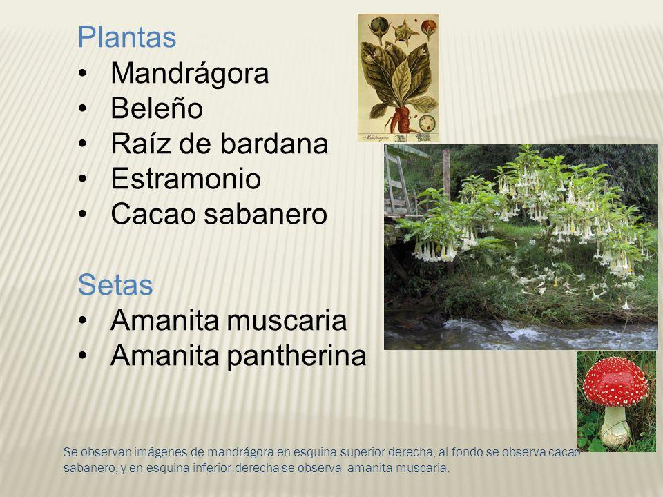 Se observan imágenes de mandrágora en esquina superior derecha, al fondo se observa cacao sabanero, y en esquina inferior derecha se observa amanita m