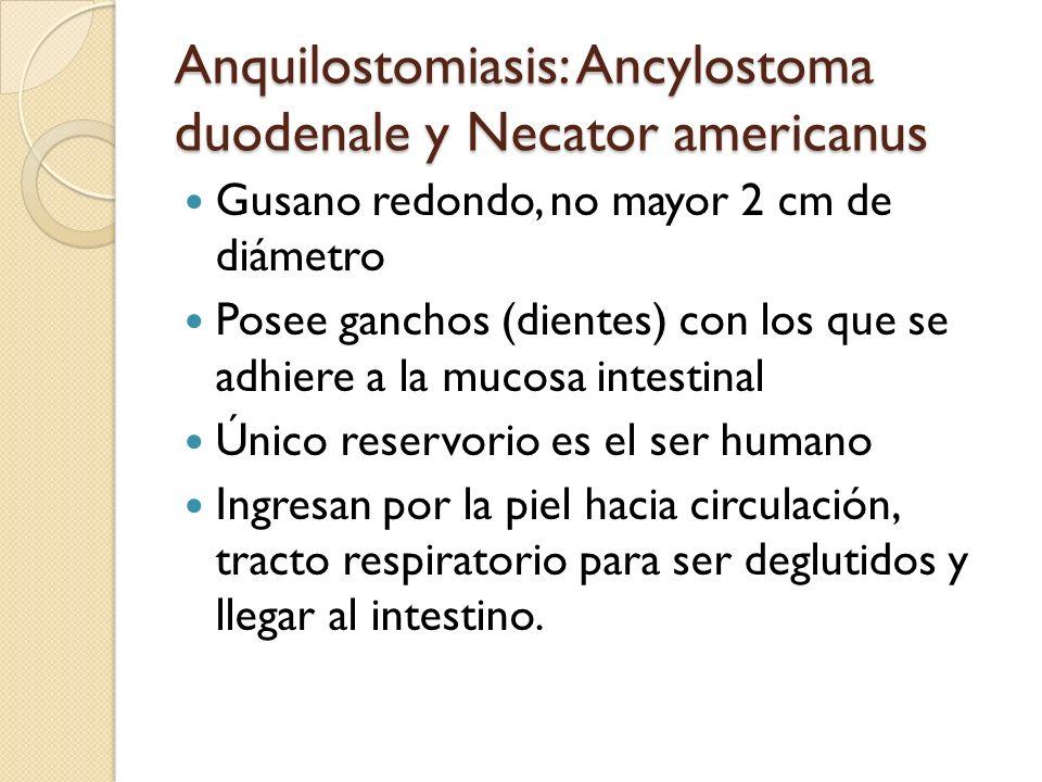 Anquilostomiasis: Ancylostoma duodenale y Necator americanus Gusano redondo, no mayor 2 cm de diámetro Posee ganchos (dientes) con los que se adhiere