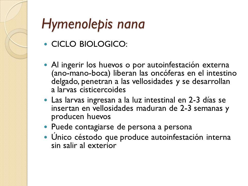 Hymenolepis nana CICLO BIOLOGICO: Al ingerir los huevos o por autoinfestación externa (ano-mano-boca) liberan las oncóferas en el intestino delgado, p