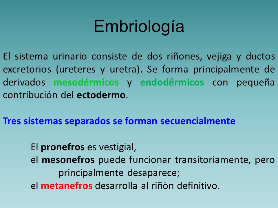 Sistema Metanéfrico A nivel del sacro durante la quinta semana de desarrollo, aparece un tercer órgano urinario: el metanefros o riñon definitivo.