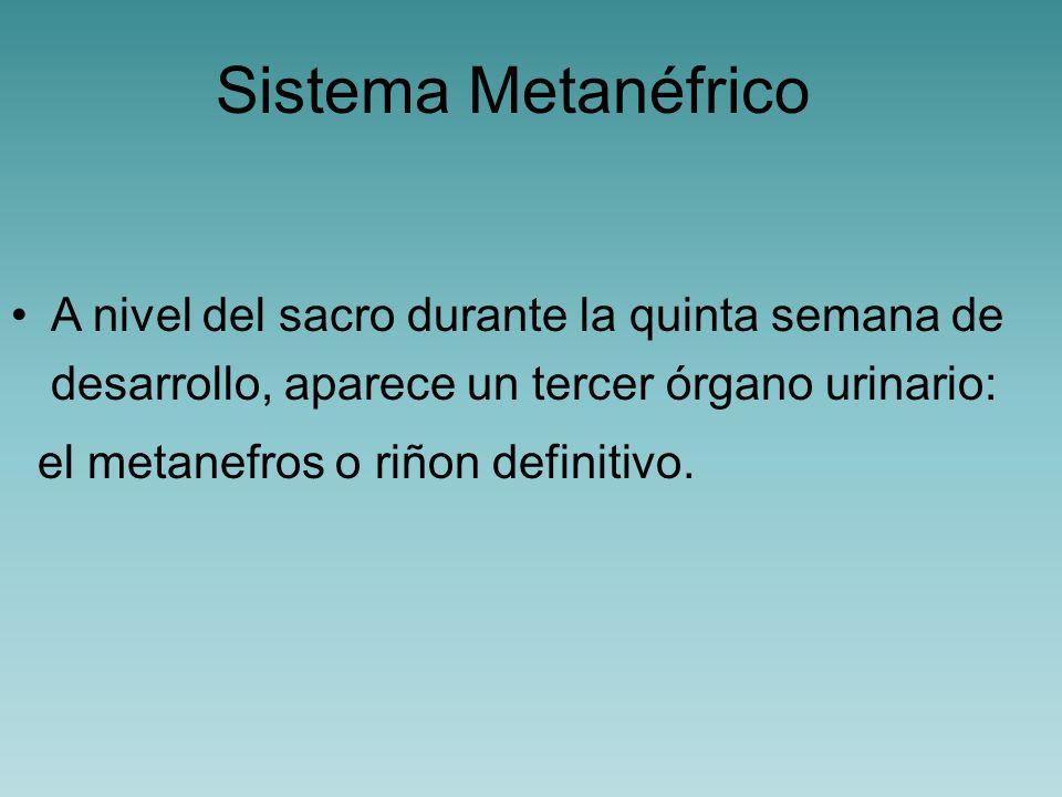 Sistema Metanéfrico El sistema colector se desarrolla a partir de una evaginación del conducto mesonéfrico (conducto colector común formado por los 2 sistema anteriores), denominada brote ureteral.