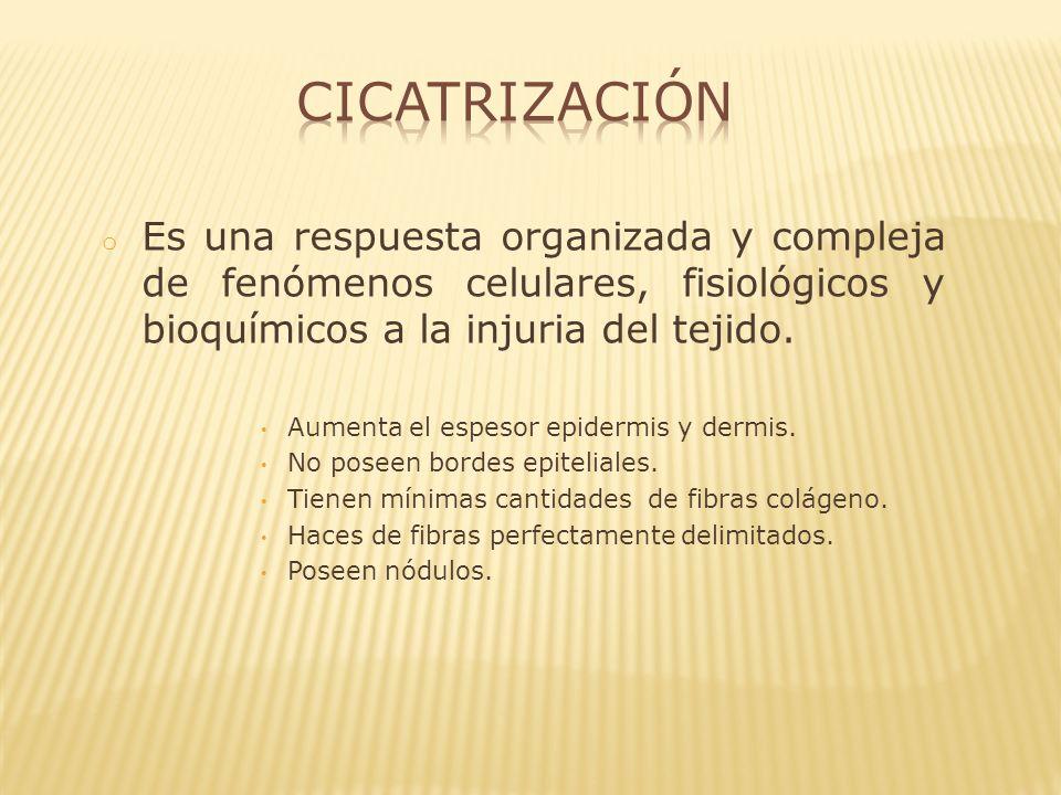 o Macrófagos: desbridamiento y estimulación de la síntesis de colágeno.